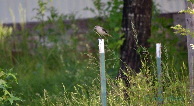 mockingbird 2 (2)