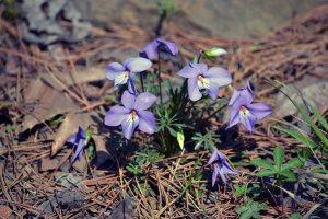 Violets at Banner