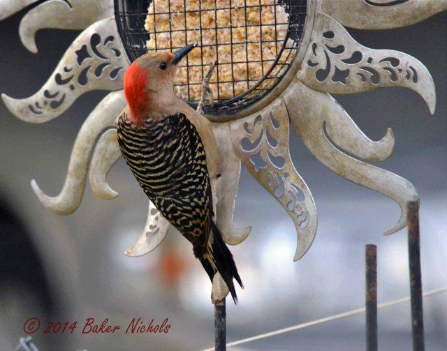 Woodpecker Redhead