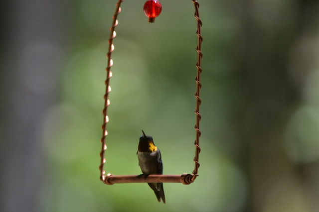 Hummingbird on swing. © Baker Nichols