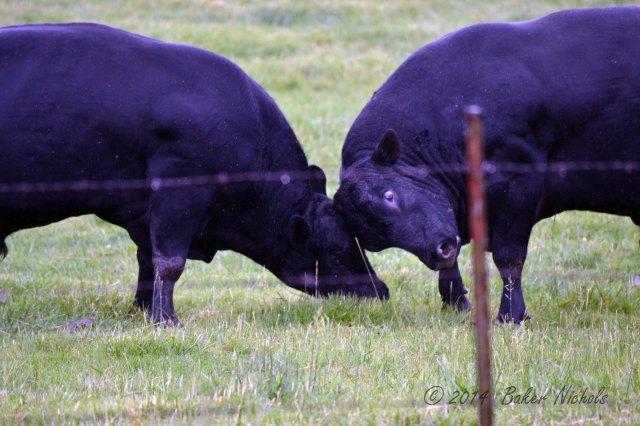Young bulls.