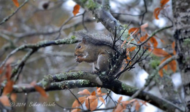 """High in a hickory tree this little squirrel hides from me. With a """"hickor nut"""" in his paws, he sits there and gnaws and gnaws."""