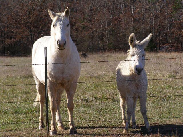 White Horse and Donkey