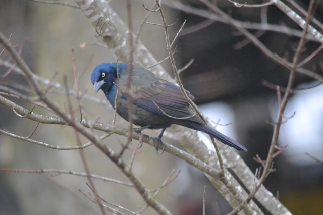 mystery bird waits on limbs of a maple Blue Jay at feeder © Freeda Baker Nichols