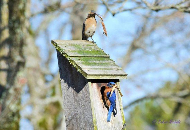Bluebirds Build Nest (2)