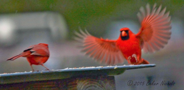 Redbird in Motion-1