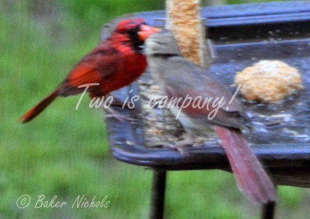 Redbirds (1)