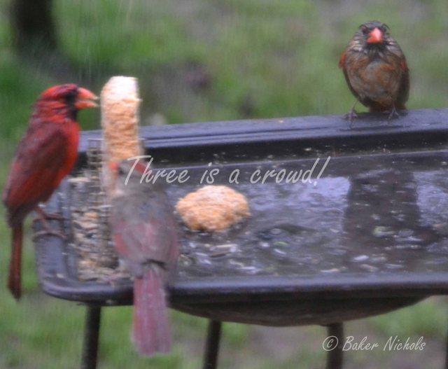 Redbirds (2)