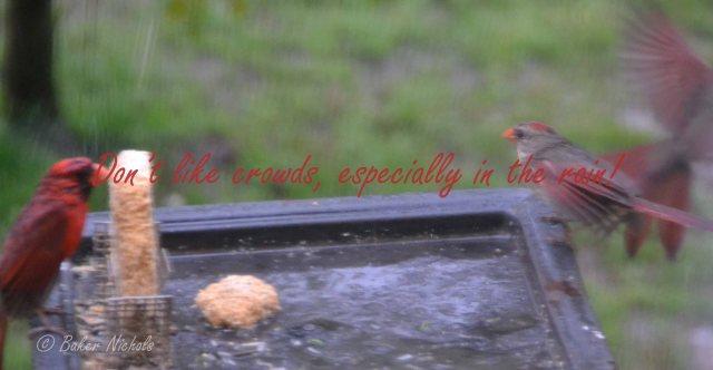 Redbirds (3)