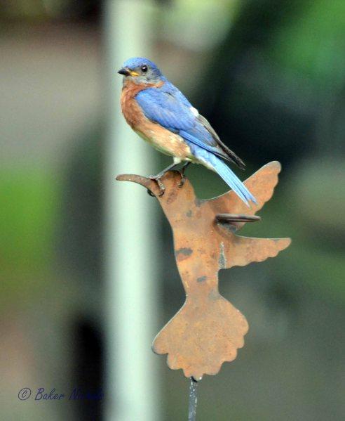 bluebird on rain gauge