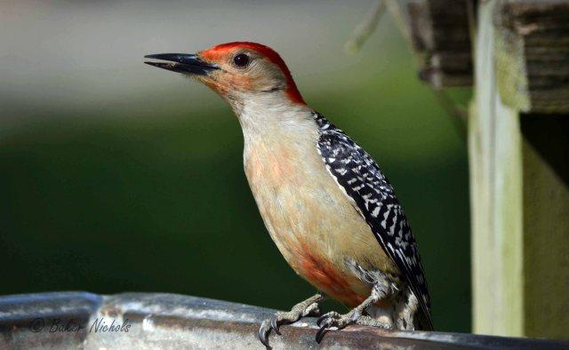 red-bellied woodpecker-1