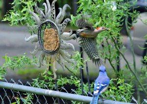 woodpecker in flight
