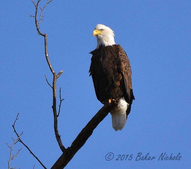 Eagle at Banner Mt.