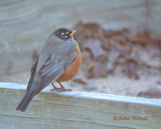 robin-- cold morning - 1