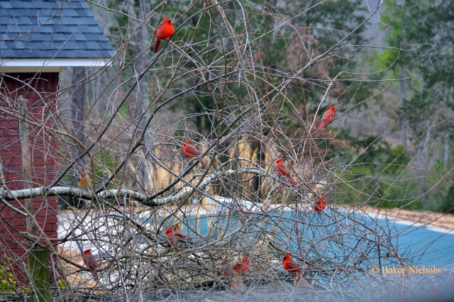 Many Redbirds