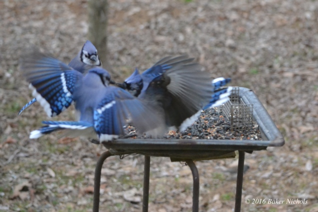 Blue Jays fighting 2016