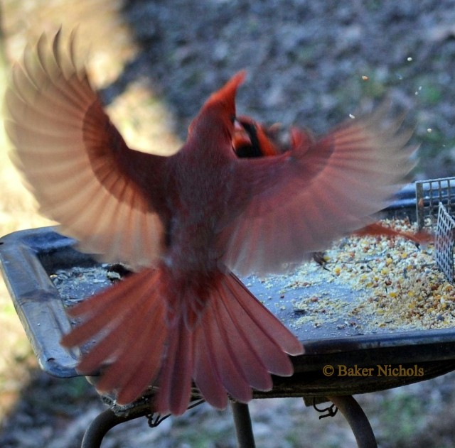 cold morning/ many feathers spread wide/ redbirds fighting