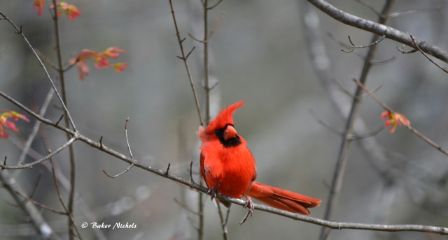cardinal, first day of spring 2016