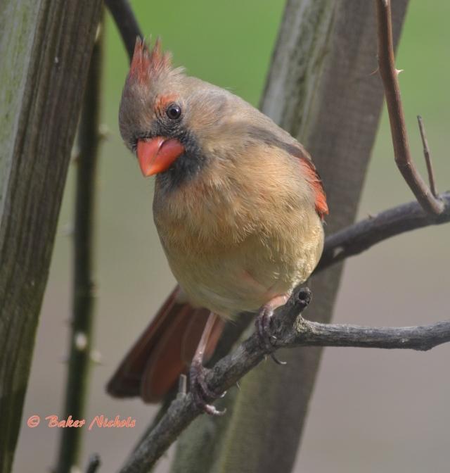 female redbird