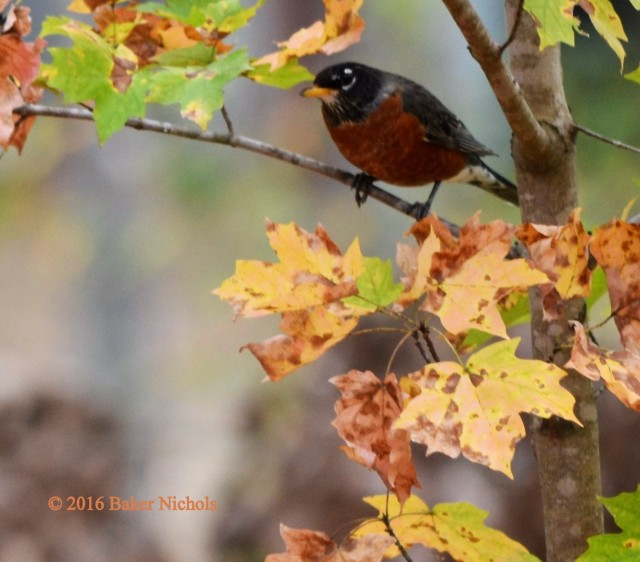 Where do the robins go in winter? They came by here in flocks. They drank from my bird bath the day we set back our clocks