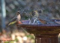robins-cedar-waxwing