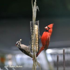Downy woodpecker and redbird