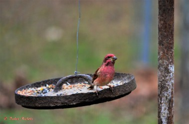 purple-finch