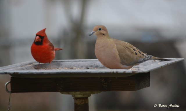 A cardinal and a mourning dove