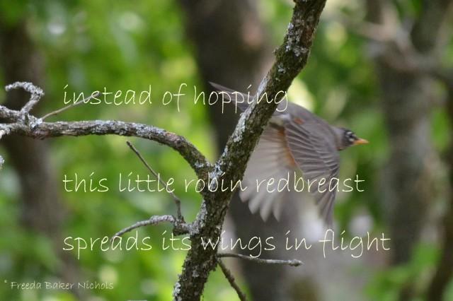 flying robin and haiku
