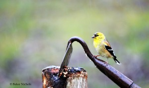 Old-world Finch