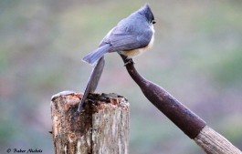 Tufted Titmouse - 2