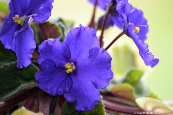 violets from my windowsill