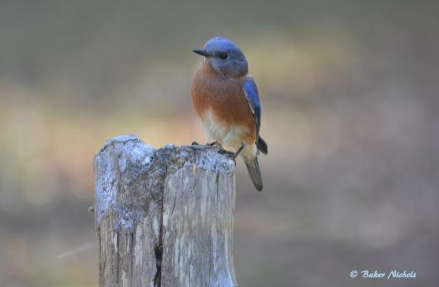 Bluebird -Sept 30-2017