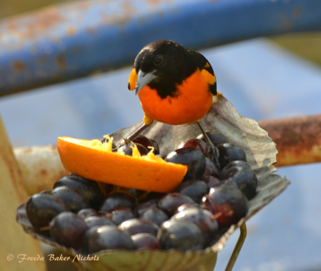 Baltimore Oriole DSC_0007 5-1-2018 7-24-41 PM 3537x2991