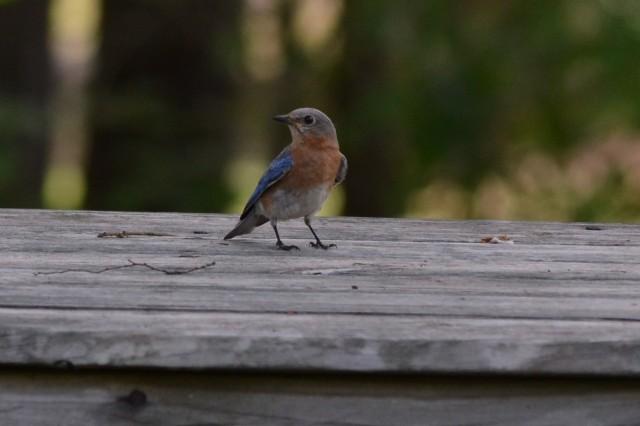 bluebird on table