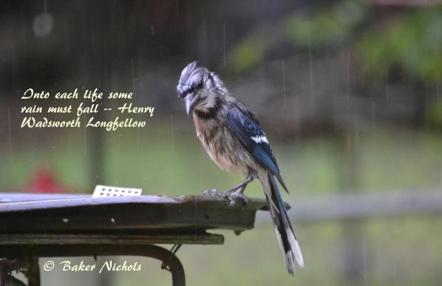 Bluejay in rain
