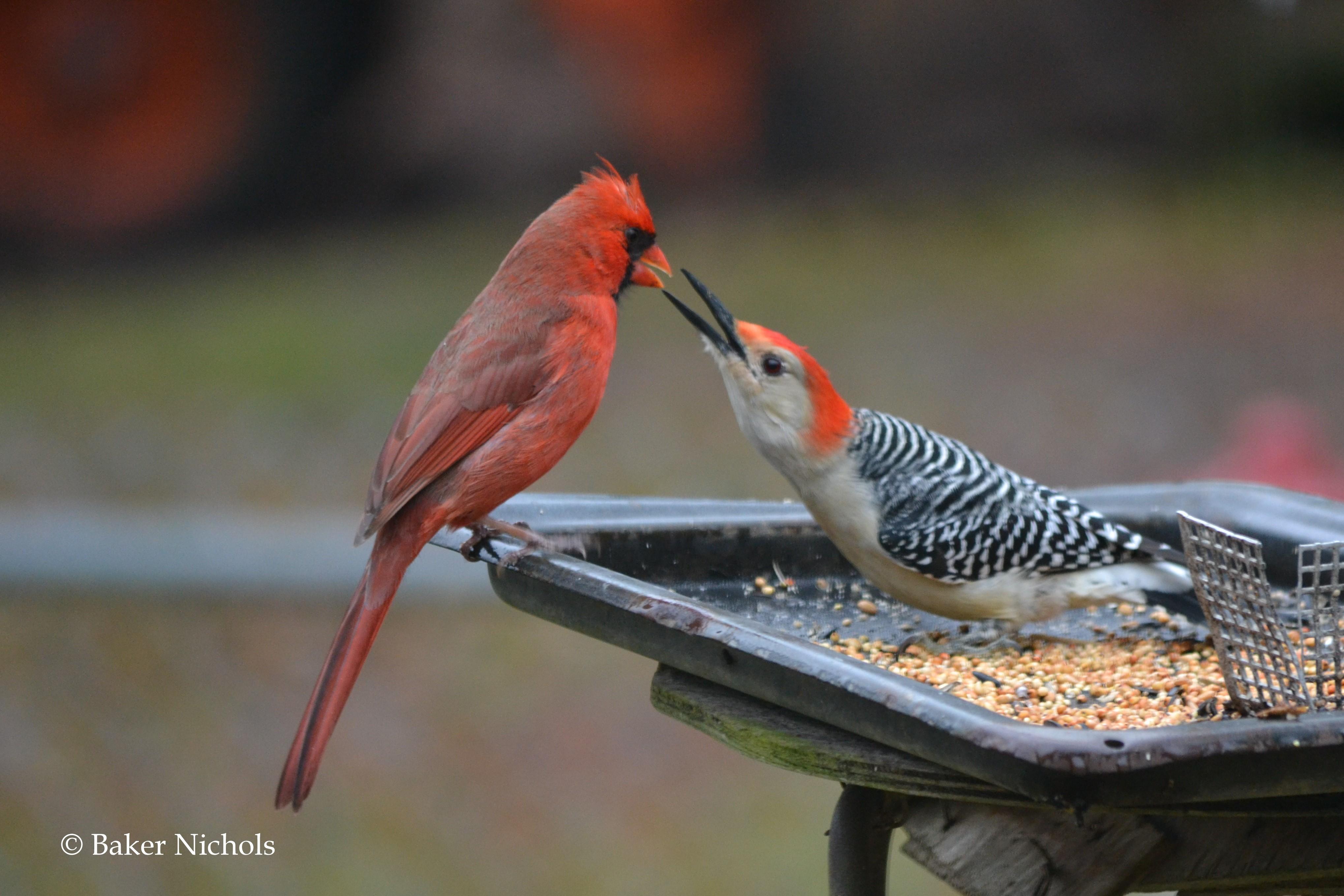woodpecker becomes angry (2)