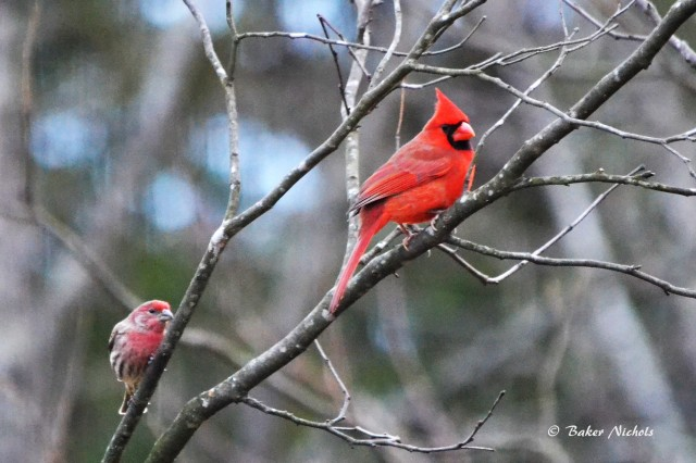 finch and cardinal